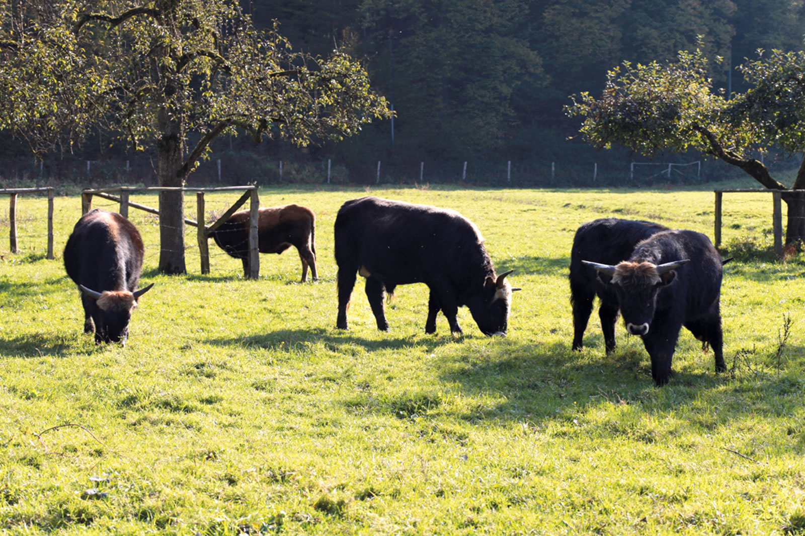 Aurochs on pasture with sustainable economy
