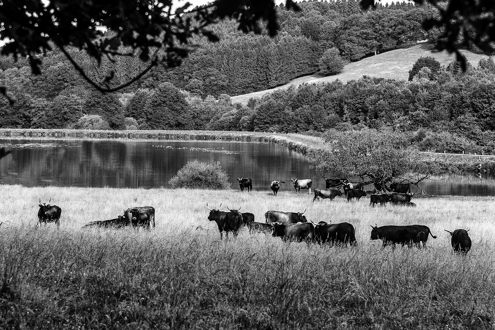 Aurochs on pasture near Schloss Ehreshoven near Cologne